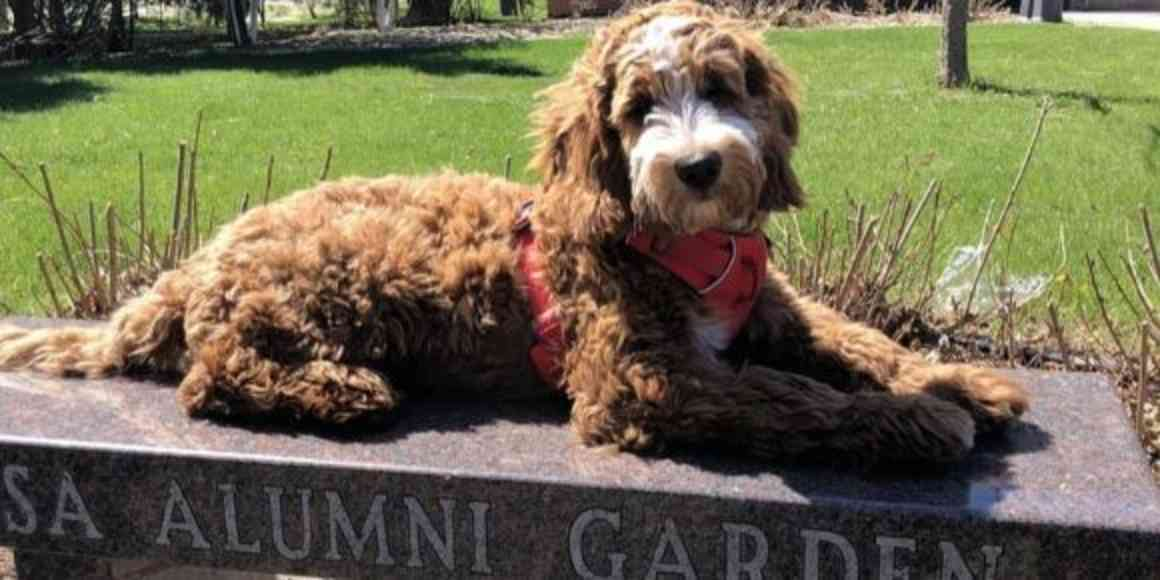 Archie the UMN Morris therapy dog relaxing in the alumni garden